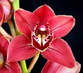 Cymbidium Gallery