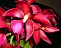 Miscellaneous Orchids Gallery
