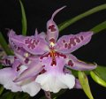 Oncidium Gallery